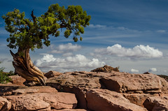 Bonsai gardening in the desert (StGrundy) Tags: sky usa southwest tree pine clouds utah nikon rocks unitedstates desert canyon boulders western bonsai moab nationalparks pinyon 2016 d7000 stgrundy