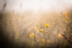 Mist (katarri) Tags: nikon nikond750 d750 nikkor 50mm 14 mist water drops droplets flower flowers nature meadow grass plant plants outdoor yellow green gold golden light bokeh bokehlicious sun sunny spring sunset goldenhour