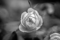 B&W Rose @ 1.4 (Nikan Likan) Tags: bw white black paris flower rose zeiss vintage lens 50mm prime bokeh 14 an jena mount mc german carl manual praktica | 2016 prakticar 14