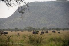 Elephants (Nigel Nudds Photography) Tags: elephant rain tanzania shower monkey rainbow buffalo lion butterflies pelican leopard zebra crocodile antelope cheetah giraffe baboon serengeti hyrax vervet hippos dikdik agama topis