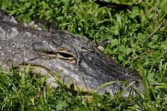 National Zoo  (1295) Alligator (smata2) Tags: zoo gator reptile alligator nationscapital smithsoniannationalzoo itsazoooutthere zoosofnorthamerica