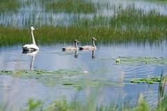 Getting bigger! (Wild Bill in MN) Tags: swan sony cygnet trumpeter a6300 sel70200g