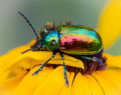 Dogbane Beetle. (tresed47) Tags: 2016 201607jul 20160710chestercountymisc bug canon7d chestercounty content dogbanebeetle folder insects pennsylvania peterscamera petersphotos places springtonmanor takenby us