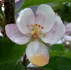 White Flower 002 (Sensation Art Gallery) Tags: flower nature leaves garden whiteflower naturalworld raindroplets