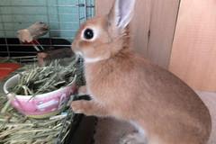Ichigo san 243 ICHIGO san  (mensore) Tags: family pet brown cute rabbit bunny dwarf netherland ichigo   netherlanddwarf
