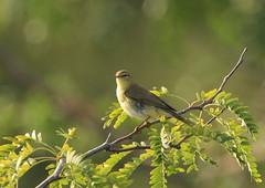 Phylloscopus sibilatrix-Wood Warbler (Aviantic) Tags: woodwarbler phylloscopussibilatrix