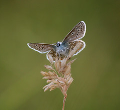 Common Blue (GillK2012) Tags: polyommatusicarus nature wildlife butterfly backlit