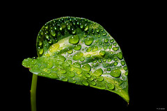 DSE_6550 (Juan J Martinez.) Tags: d7100 macro gotas drops verde negro sigma70mm