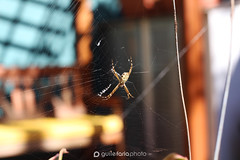 IMG_4010 (xguilex) Tags: spider aranha insect inseto