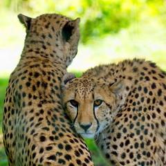Couple (Phil du Valois) Tags: couple gupard cheetah flin prdateur fauve carnassier faune sauvage wild wildlife