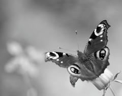 Aussi lgre qu'une plume (CcileAF) Tags: canon tamron macro monochrome minimalist bokeh butterfly nature nb black white dreamy poetic
