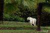 Tigre blanc - Zoo La Fleche - 20160817 (0913) (laurent lhermet) Tags: sel55210 zoo zoodelafleche tigre tigreblanc