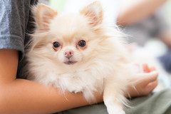 Chihuahua (soul shot) Tags: eos5dmkii sigma85mmf14