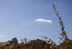 Fin de saison ...(end of the season...) (Larch) Tags: plante plant pierre stone wall mur scheresse simiane simianelarotonde ciel sky nuage cloud drought village france midi sud south minimalisme minimalism findesaison endoftheseason lumire light