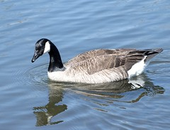 Cackling Goose (David Badke) Tags: colwood bc bird