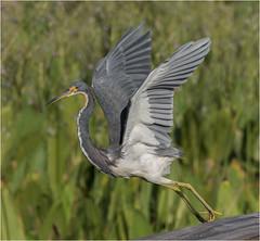 Tri Color Heron ( Leap of Faith ) (billkominsky ) Tags: naturethroughthelens