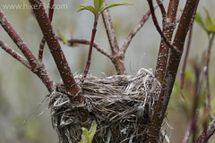 """Nest in Redosier Dogwood • <a style=""""font-size:0.8em;"""" href=""""http://www.flickr.com/photos/63501323@N07/17543144060/"""" target=""""_blank"""">View on Flickr</a>"""