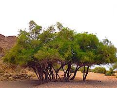السيل ياسدرة الغرمول يسقيك *** من مزنةٍ هلت الما عقربية (hamad1436r) Tags: بر شجرة وادي أشجار سدر سدرة مكشات براري