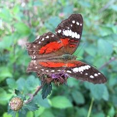 Butterfly.. (josemqui) Tags: red 6 brown macro verde green argentina mariposa misiones iphone matute andresito flojera burreros