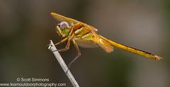 Golden-winged Skimmer (sjsimmons68) Tags: animals fav insectsandspiders goldenwingedskimmer libellulaauripennis seminoleco dragonflyanddamselfly fllocations littlebigeconsf 2015favorites littlebigeconsfjoneseast