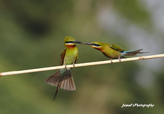 Lunch Time (Jawad_Ahmad) Tags: blue pakistan light green nature beautiful beauty lunch photography natural time bokeh bee tailed eater naturelover sialkot jawads naturesphotography