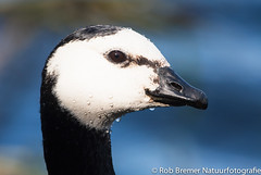 Barnacle Goose / Brandgans-7877 (rob.bremer) Tags: bird birds animal outdoor dunes vogels duinen brantaleucopsis vogel kennemerduinen barnaclegeese brandgans karpervijver