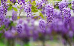 Wisteria (Jill-Wang) Tags: flower macro purple 100mm fujifilm wisteria 100mmmacro leicar xpro1