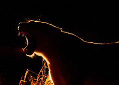 Lioness at Night, Sabi Sabi Reserve, South Africa (leonardofelippe) Tags: portrait orange black nature animals silhouette horizontal mystery night dark southafrica outdoors darkness wildlife teeth yawn dramatic nobody safari nighttime hide mysterious backlit wilderness fangs hiding predator lioness alert krugernationalpark yawning predators animalsinthewild watchful pantheraleo oneanimal colorimage mpumalangaprovince sabisandsgamereserve sabisabigamereserve scenesinnature sabisabireserve