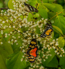 butterfly-fest (dotun55) Tags: flower nature butterfly insect feeding wing moth butterflies lepidoptera nigeria natue underwing