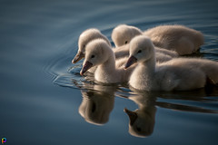 Armada - Swan Cygnets (JTPhotography) Tags: baby lake cute nature swimming river swan sweet wildlife cygnet schwan niedlich kken ss panasonic45200mm panasoniclumixg6