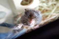Churro (conradolson) Tags: pet animal hamster churro