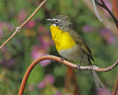 Yellow-breasted Chat (Keith Carlson) Tags: warblers yellowbreastedchat icteriavirens