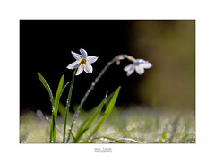 Water drops (mariafancello) Tags: white flower green narciso