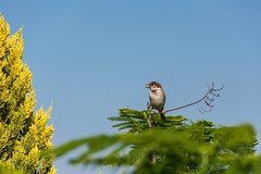 Bird on tree top (Flavio~) Tags: blue sky tree green bird top sparrow birdphotography
