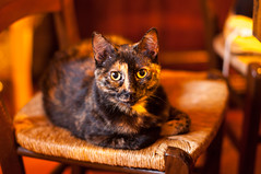 Relaxing on a chair (Lorenzo Sedita) Tags: portrait animal cat 50mm chair nikon bokeh 14 gatto sedia ritratto