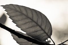 Nervures (LACPIXEL) Tags: naturaleza macro nature monochrome leaves hojas nikon flickr outdoor fx tamron extrieur feuilles crme nervures d4s macromondays nikonfrance lacpixel