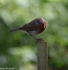 Insect catcher (Katy Wrathall) Tags: england bird robin spring eastyorkshire eastriding maygarden