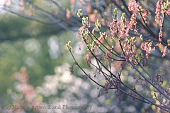 """Maple Buds In Afternoon Sun"" (joyolsonnichols) Tags: trees nature spring blossoms buds afternoonsun nichols springbuds"
