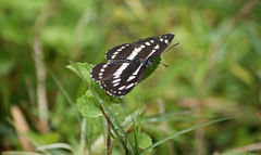 157. The Northern Dot-dash Sergeant Butterfly (Athyma kanwa phorkys), Near Gosalithan, Nepal (Jay Ramji's Travels) Tags: nepal lepidoptera nymphalidae brushfootedbutterfly gosalithan athymakanwaphorkys dotdashsergeantbutterfly