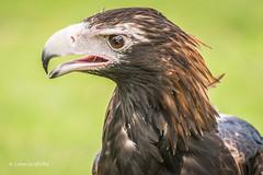 Wedge-Tailed Eagle 710_8300.jpg (Mobile Lynn) Tags: oreilly nature birds au australia queensland captive birdsofprey wedgetailedeagle