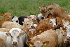 Herdentrieb - 2016 - 0021_Web (berni.radke) Tags: cows bovine khe rinder herde herdinstinct herdentrieb
