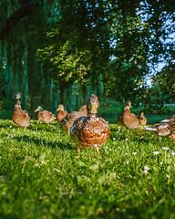 I see you, give me food! (spiridono) Tags: duck nature bird park ducks netherlands