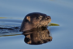 Portrait Of An Otter (The Nature Of J) Tags: florida wetlands water clowns playful funloving river otter female