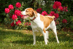 Gracie & Rhodies (rlgidbiz1) Tags: red summer love sunny rhododendron brittanyspaniel rhodies