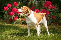 Gracie & Rhodies (rlgidbiz1) Tags: red summer love sunny rhododendron brittanyspaniel rhodies