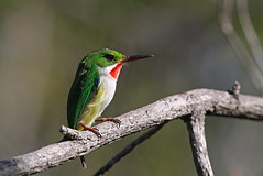 Puerto-Rican Tody, Bosque Seco de Guanica, Puerto Rico January 2016 (Sterna999) Tags: nature birds forest puertorico wildlife bosque vgel wald oiseau vogel stateforest rioabajo bosquesecodeguanica madr puertoricantody todusmexicanus birdsofpuertorico bosqueestatalderioabajo todiportorick gelbflankentodi puertoricotodi barrancolpuertorriqueo puertoricontodi todierdeportorico tododiportorico puerutorikokobitodori  puertoricaansetodie gulsidetodi plaskodziobekdlugodzioby todideportorico  todiltobok