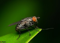 Fly (torqueabhi) Tags: light detail green nature closeup fly leaf compound eyes nikon wasp bokeh sting details bugs flies macros tamron diffuser macroshot macrophoto naturelover extensiontubes externalflash iamn yongnuo d5300 iamnikon tamronaf70300mmf456divcusdif