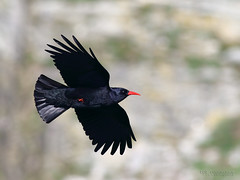 Chough (Pyrrhocorax pyrrhocorax) (roystontc) Tags: birds wildlife chough anglesey southstacks