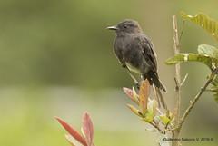 Sayornis nigricans / Black Phoebe / Mosquero de Agua (Gmo_CR) Tags: costarica coronado blackphoebe sayornisnigricans patiodeagua mosquerodeagua