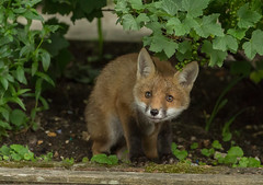 Fox cub  (Vulpes vulpes) (Steven Whitehead) Tags: wild nature canon garden lens fur cub feeding wildlife fox l foxes 100400mm 2016 foxcub cubfox